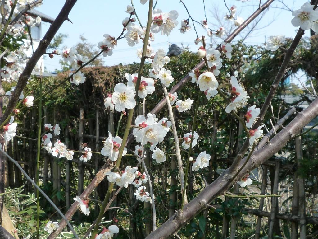 P1080516境内の花