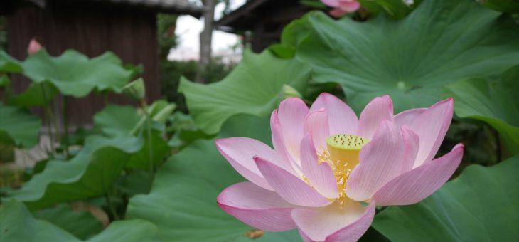 今年も古代蓮が咲いています