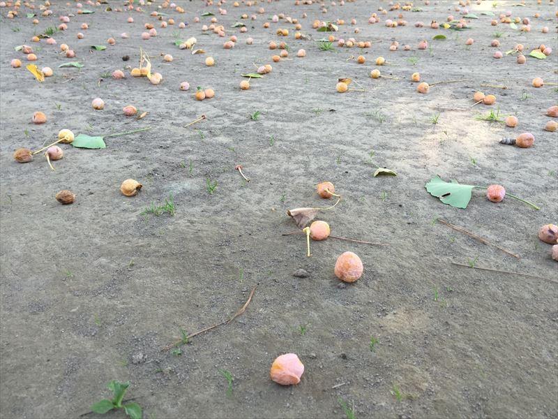 今年の銀杏はやや小粒